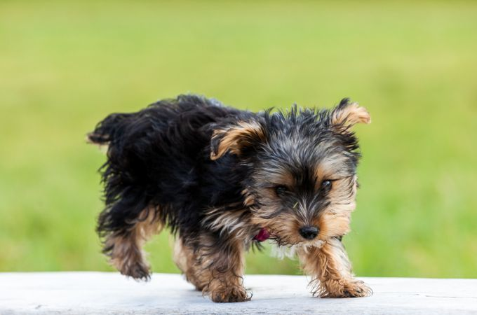 The Adorable Picture of Teacup Yorkies