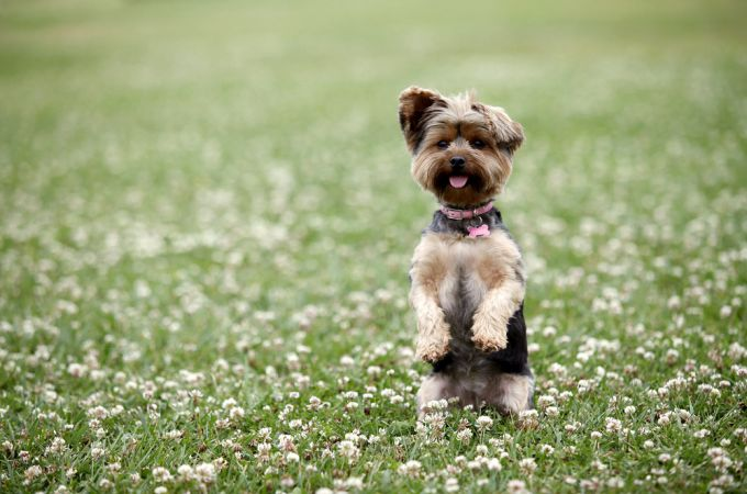 7 Types of Adorable Yorkie Puppies