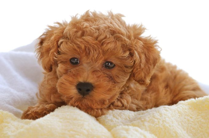 Fantastic Cutest Brown Adorable Dog - Brown-Cute-Toy-Poodles  Pic_444255  .jpg