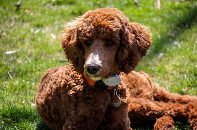Brown Standard Poodle Dog Breed Sitting on Grass