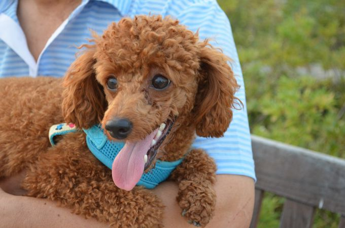 5 Types Of Poodles That Recognized Unrecognized Standard