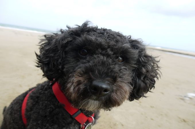 miniature-poodle-black-picture