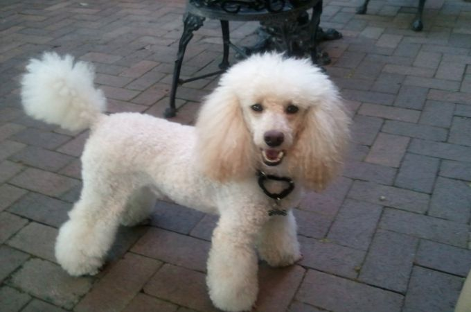 5 Types of Poodles That Recognized & Unrecognized of AKC