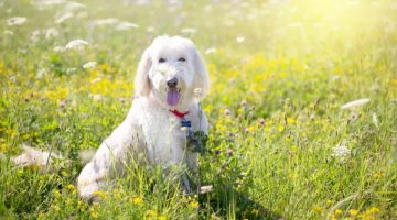 Poodle Breeds 101: Facts You Need To Know About Poodles