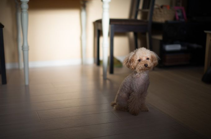 white-toy-poodle-dog