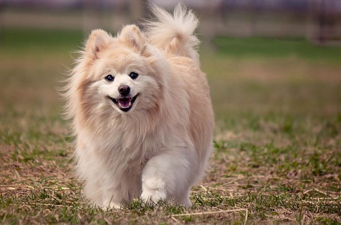 big-white-pomeranian-dog