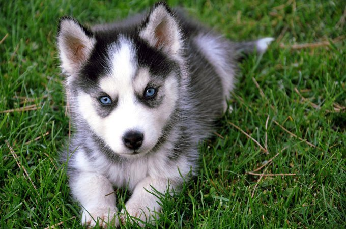 10 Facts You Need To Know Before You Get Pomeranian Husky