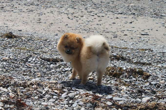 cute-pomeranian-puppy