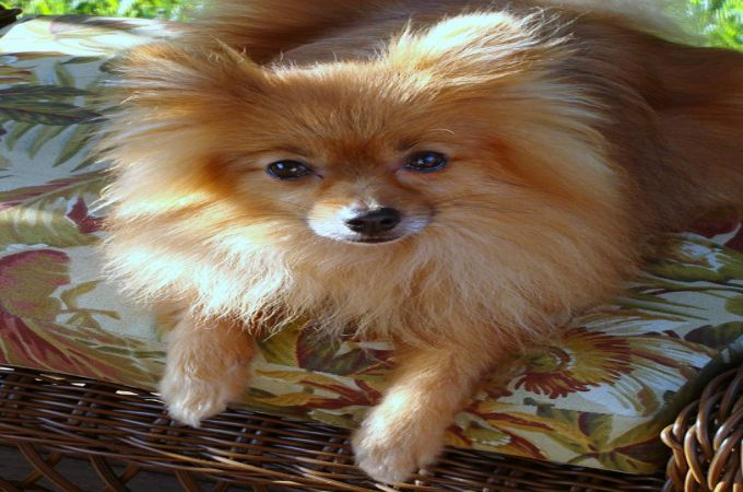dogs 101 pomeranian pomeranian breeds 101 what you need to know about this dog 7981