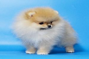 Teacup Pomeranians Dog Pictures