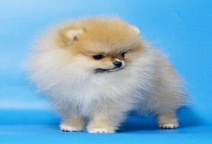 micro teacup pomeranian facts