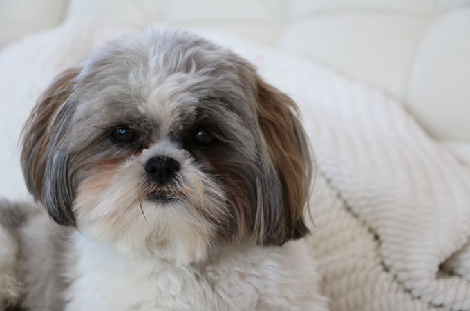 Teacup Shih Tzu Dog Color White