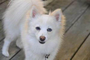 Pomeranian Breeds 101: What you Need to Know About This Dog?