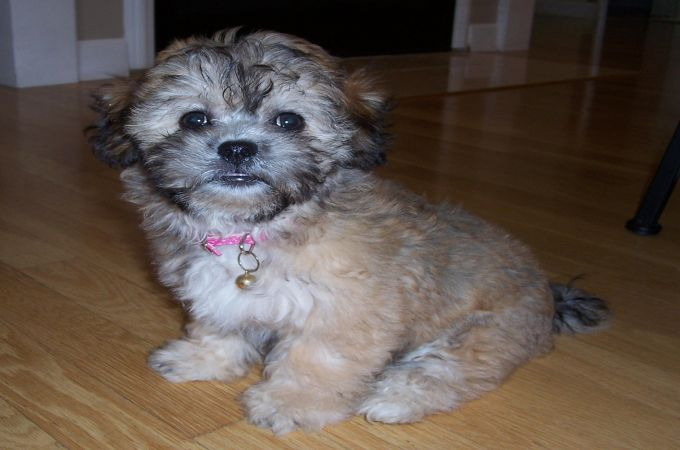 shih tzu yorkie poodle mix shih tzu toy poodle mix puppies wow blog 7630