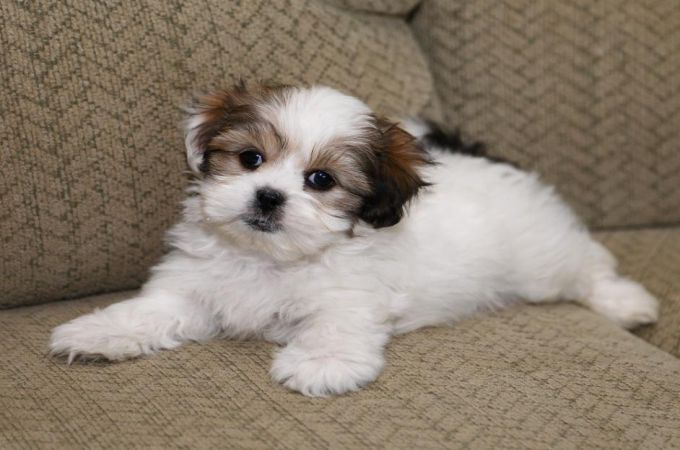 Maltese Shih Tzu Mix | Collection 9+ Wallpapers