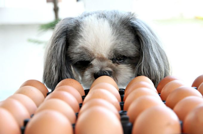 Cute Small Dogs Looking to Organic Eggs