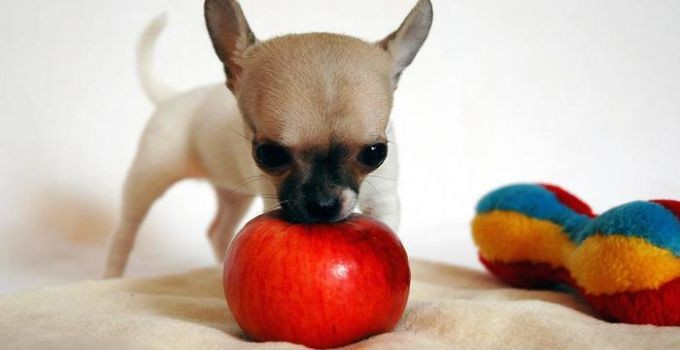 chihuahua eating apple