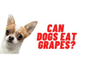 Can dogs eat grapes guide