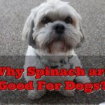 Spinach_Are_Good_For_Dogs