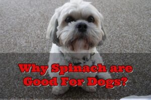 Can Dogs Have Spinach (Guide)
