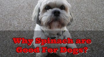 Can Dogs Eat Spinach? The Amazing Benefits of Spinach To Your Pets