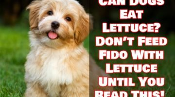 Can Dogs Eat Lettuce? Don't Feed Fido With Lettuce Until You Read This!