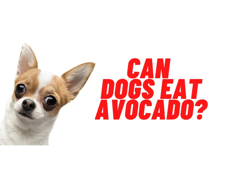 can dogs eat avocado guide