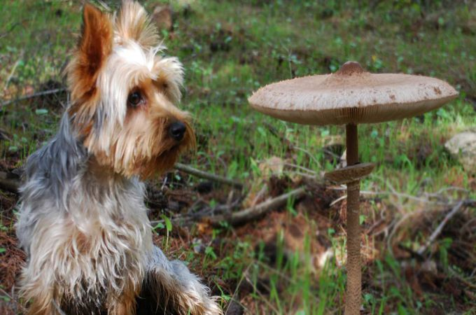Can Dogs Eat Mushrooms? List of Mushrooms That Are Safe For Dogs