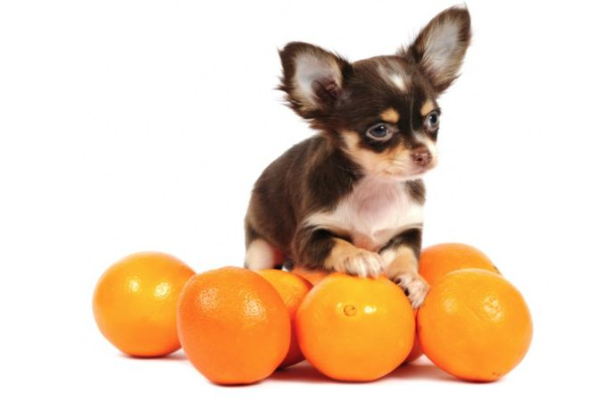 Amazing Health benefits of Oranges for chihuahua dogs