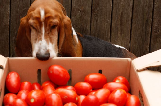 Are Tomatoes Good or Bad For Dogs?