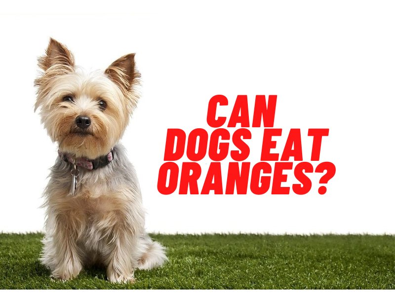 can dogs eat oranges guide