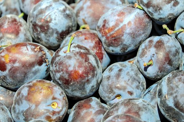Why Plum is not good for your dogs health?