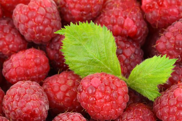 Raspberries for your pets