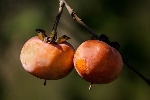 Wild Persimmons is not good for dogs health