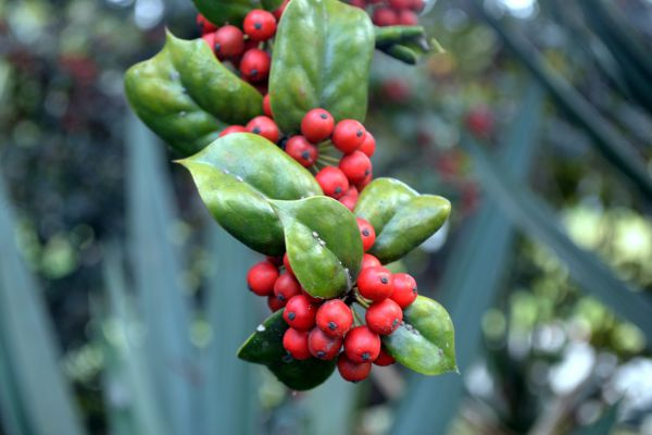 Holly berries for dogs health