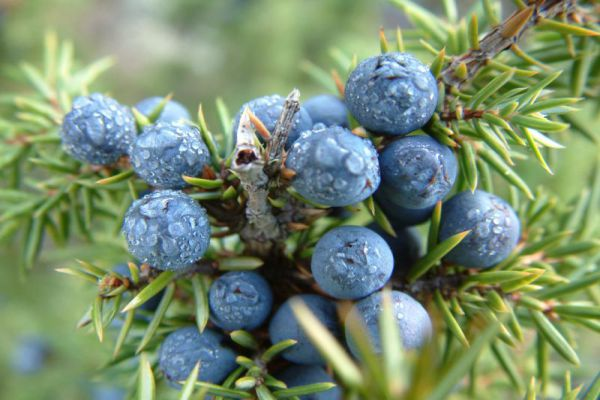 Juniper berries for canines benefits