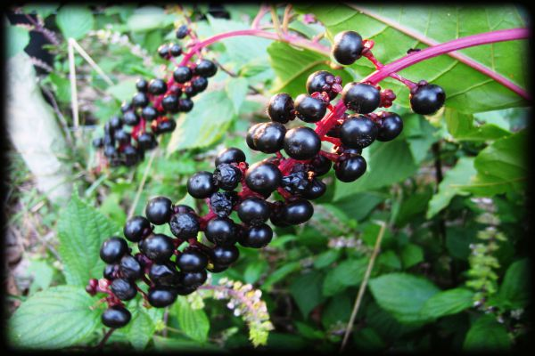 Poke berries Benefits