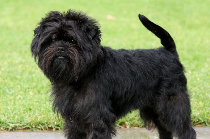 Black Small Affenpinscher dog