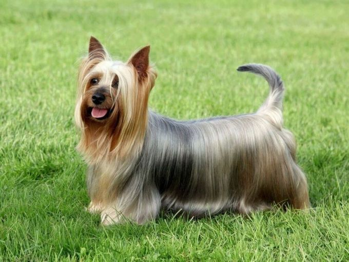 Adorable Australian Silky Terrier