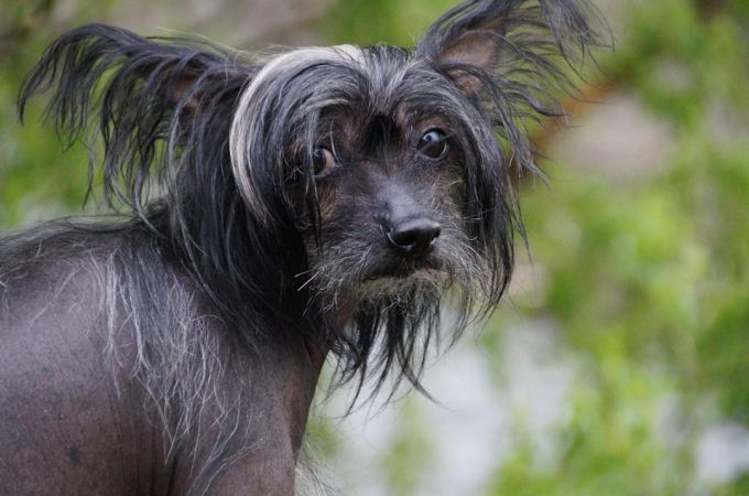 Black n white Chinese Crested dog