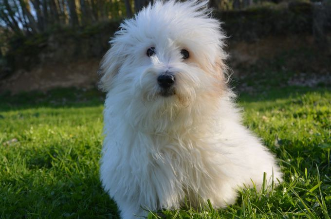 Cute Coton De Tulear Dog that Dont Shed