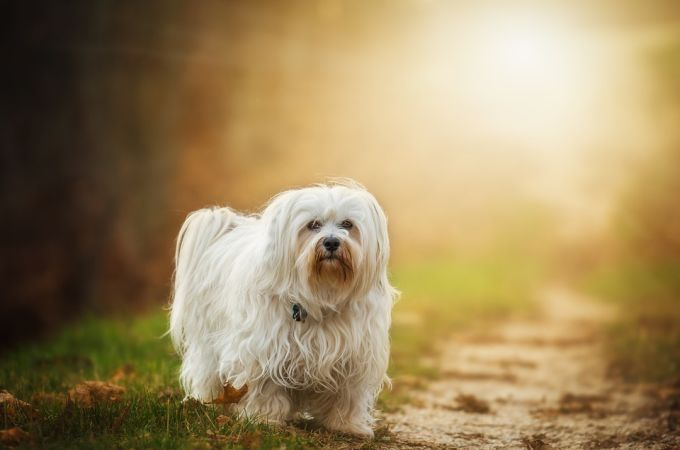 Havanese One of the Dogs that dont shed