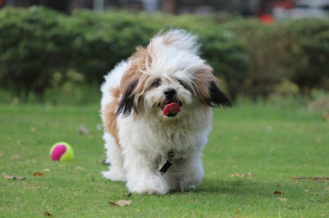 Happy and Playing Lhasa Apso Small Canine