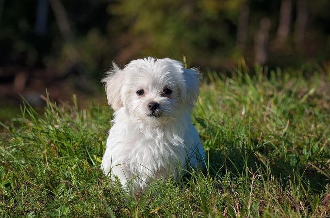 White Maltese Dog Breed