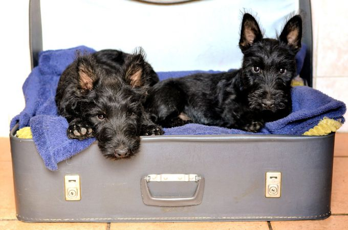 2 Black Scottish Terrier Cute