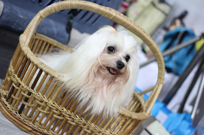 White Shih Tzu Dog in the Basket