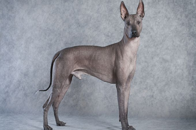 The Rarest Xoloitzcuintli dog Breed