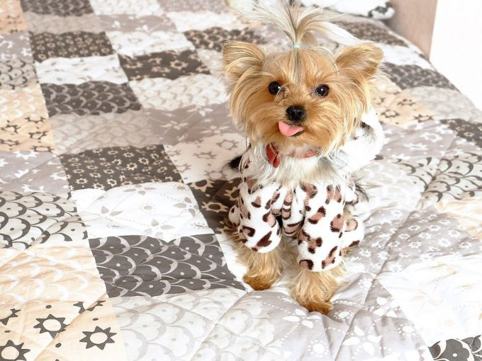 Best dog for apartment Yorkshire Terrier