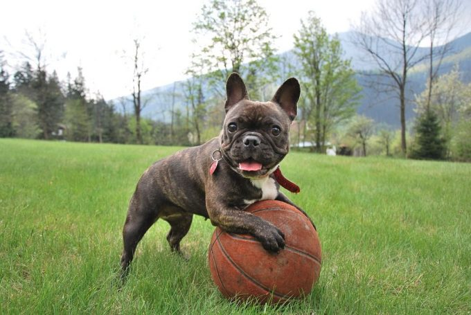 French Bulldog Playing Ball