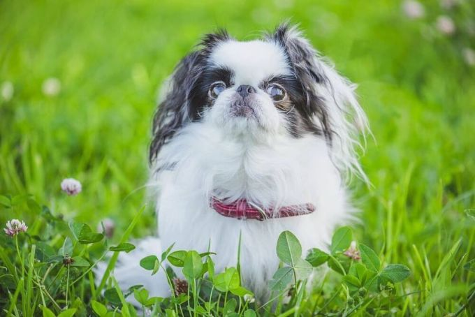best small dogs for apartments - Japanese Chin
